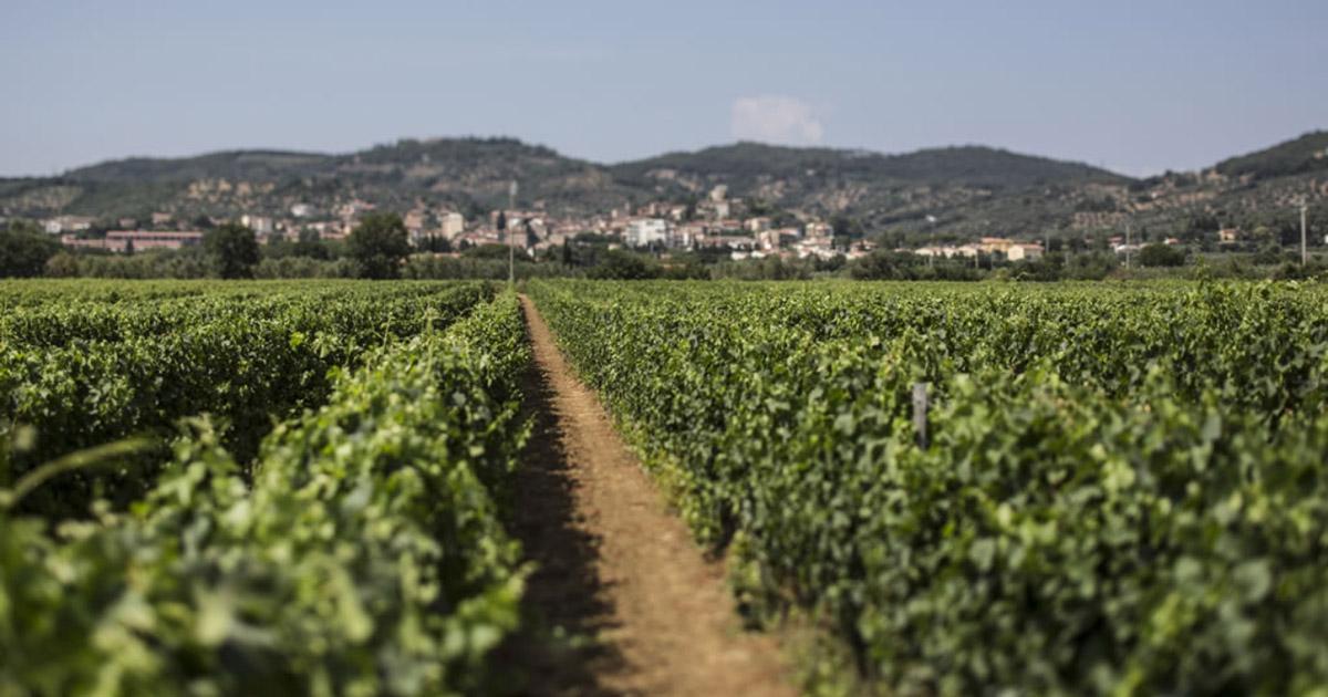 I vini della Val di Cornia